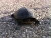 La tartaruga Clap, trovata sulla statale per Ponte di Piave